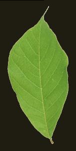 ใบไม้ SiamSnail สยามสเนล